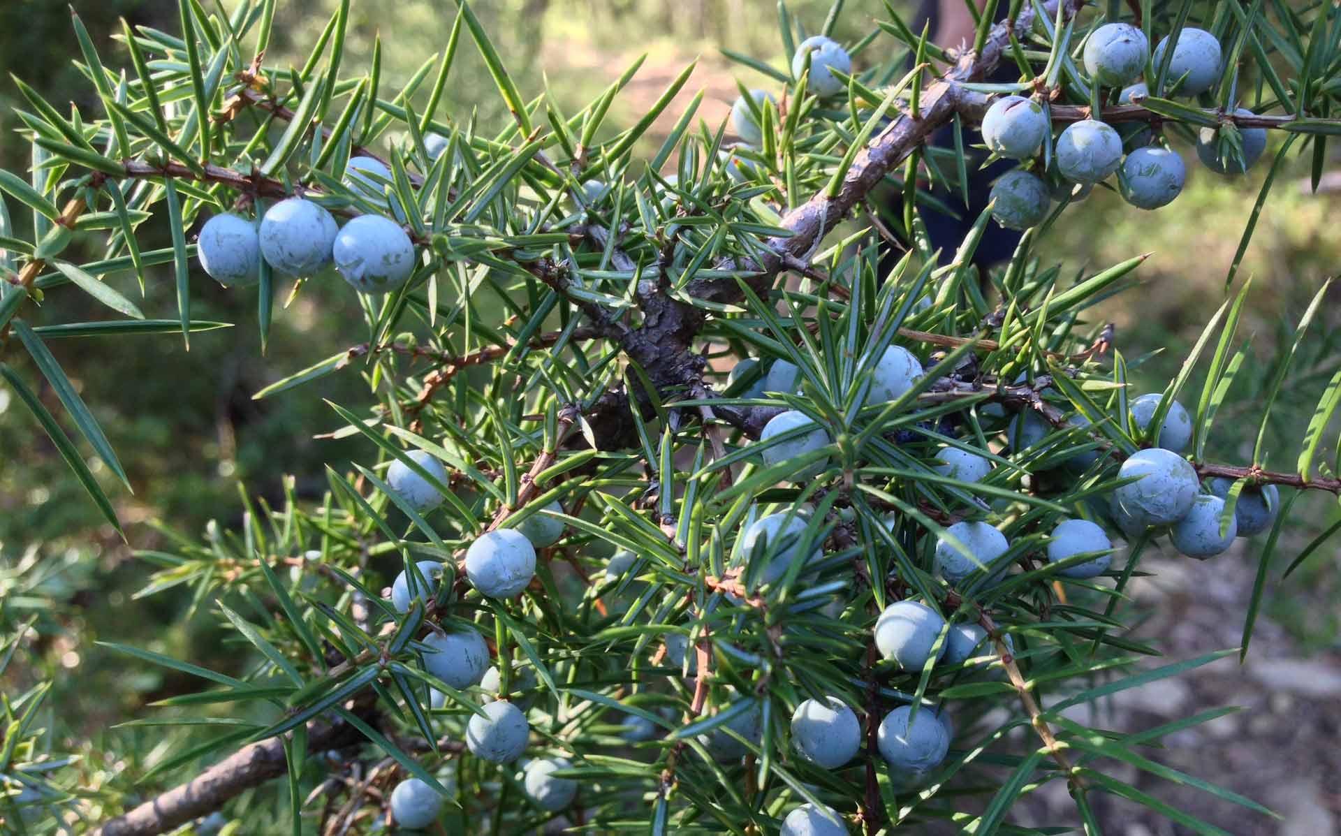 Picking juniper berries
